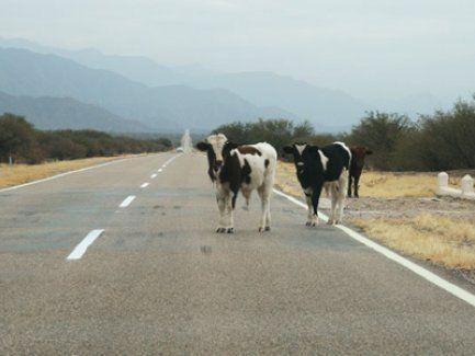 Multa tras detectar animales vacunos sueltos en la ruta
