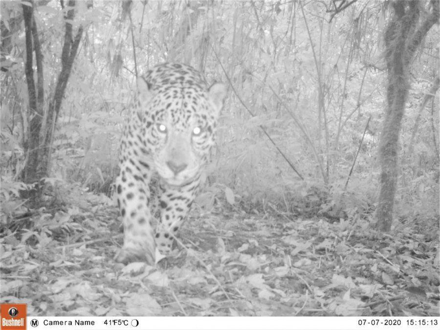 Funcionalidad del Corredor Calilegua-Baritú para la conservación del Yaguareté en las Yungas argentinas