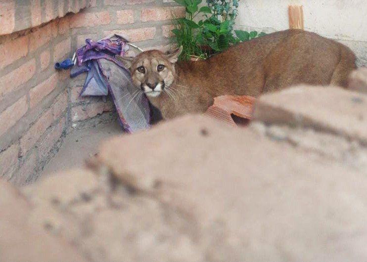 Exitoso rescate de un puma en Alto Comedero