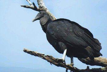Jote de cabeza negra (Coragyps atratus)
